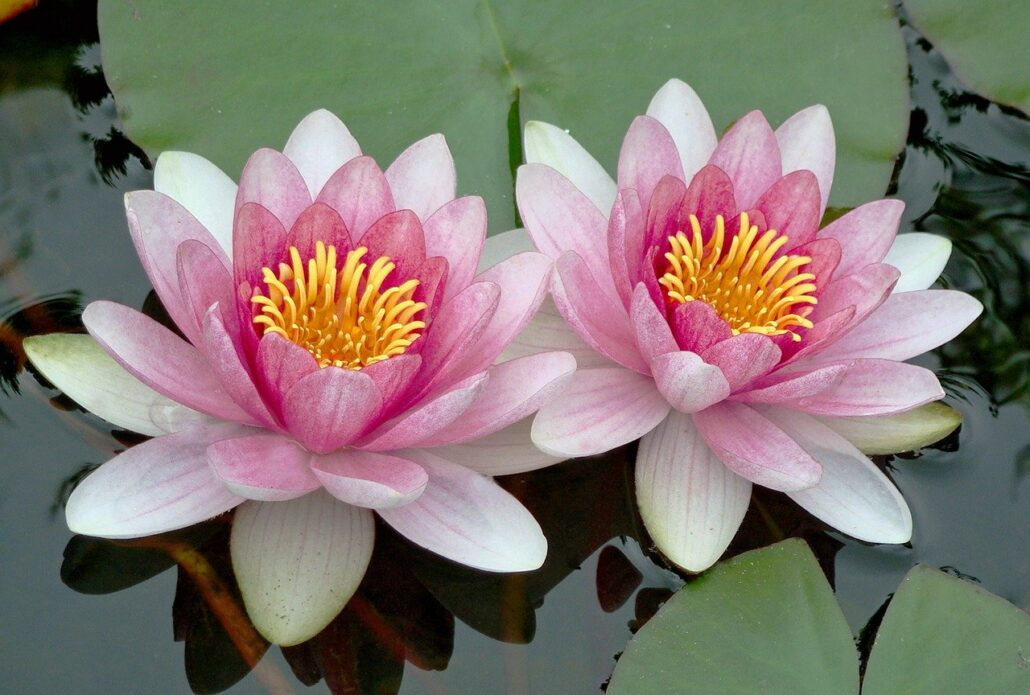 lily, lotus, floating