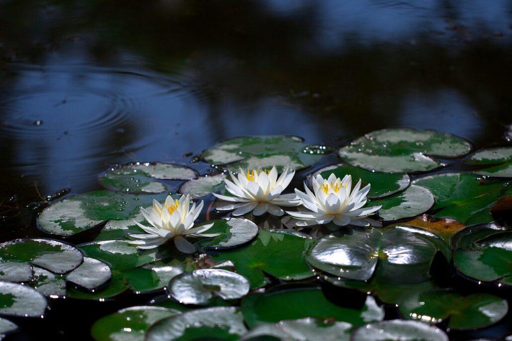 water lilies, pond, lotus